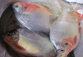 红鲳鱼是怎么繁殖的?红鲳鱼的人工繁殖方法与成鱼养殖