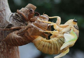 金蝉要怎么养?金蝉的养殖技术