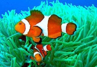 小丑鱼常见的疾病有哪些?小丑鱼常见的疾病治疗方法