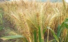 中国二系杂交小麦成功面世并得到大规模