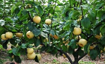 梨树要怎么施肥?梨树正确的施肥方法