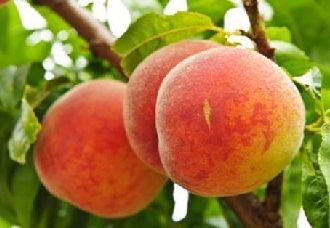 <b>桃树穿孔病要怎么防治?防治桃树穿孔病的方法</b>