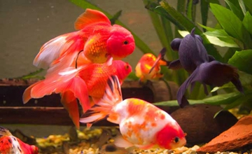 草金鱼要怎么养殖?草金鱼的养殖管理四要点