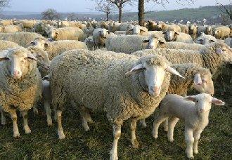 <b>羊贫血有什么症状?羊贫血的防治方法</b>