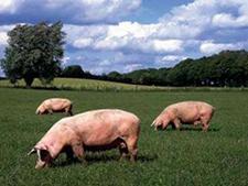 四川广安生猪价再下跌,养殖户如何降低风险