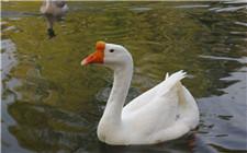 什么样的鹅才能配出健康强壮的后代?鹅配种五大原则