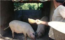 山东猪价回弹接近盈亏线 猪价寒冬将过