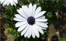 蓝目菊的生长习性和养护注意事项