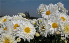 杭白菊怎么养?杭白菊的生长习性和养护注意事项