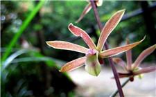 带唇兰怎么养?带唇兰的生长环境和水肥管理方法