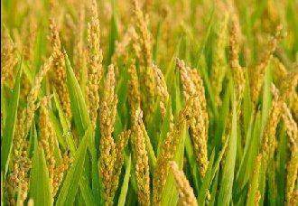 河南:调整秋粮种植结构 保证农民的种植效益