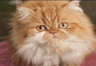 波斯猫要怎么繁殖?波斯猫繁殖注意事项