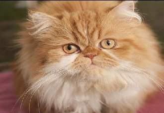 <b>波斯猫要怎么繁殖?波斯猫繁殖注意事项</b>