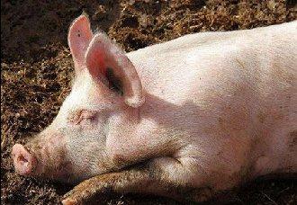 猪不吃食怎办?猪不吃食的原因与防治