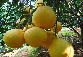 广西容县特产——沙田柚