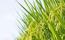 中国首批海水稻将于明年诞生 预计2020年可上市
