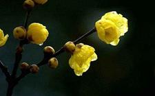腊梅花怎样养?腊梅花的养殖方法介绍