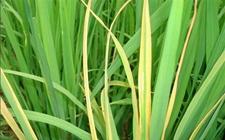 水稻得了鞘腐病怎么办?水稻鞘腐病的防治技术