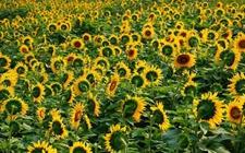 <b>向日葵怎么种植?向日葵种植方法介绍</b>