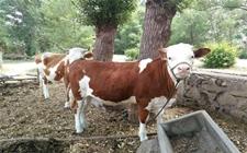 如何通过牛的体温来判断牛的健康?