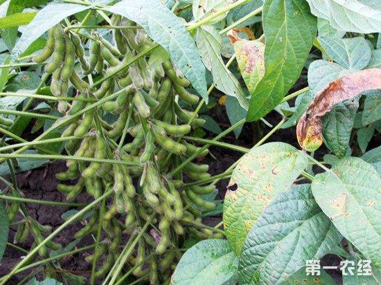 黑龙江培育出突破性大豆品种 有望取代转基因大豆榨油地位