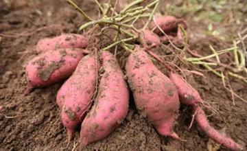 红薯要怎么栽培?红薯的栽培方法