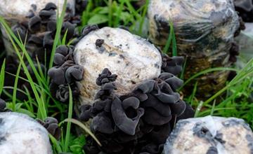 黑木耳要怎么栽培?黑木耳的生长环境