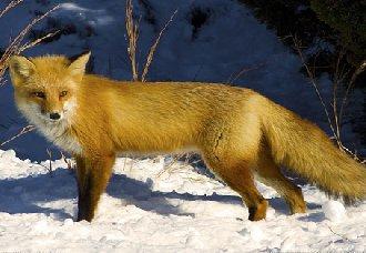 <b>狐狸吃什么饲料?狐狸饲料搭配配方</b>