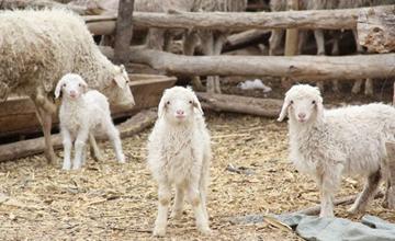 花生秧可以喂羊吗?花生秧喂羊的注意事项