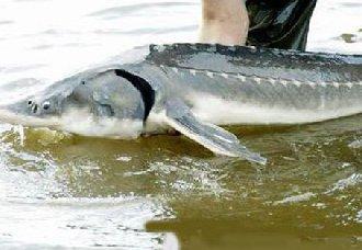 <b>鲟鳇鱼要怎么养?人工养殖鲟鳇鱼的方法</b>