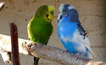 虎皮鹦鹉可以吃什么东西?不同阶段的虎皮鹦鹉的饲料选择