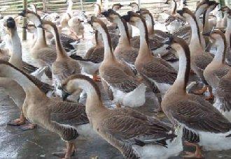 <b>种鹅要怎么提高繁殖力?提高种鹅繁殖力的方法</b>