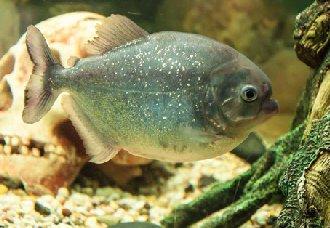 <b>水虎鱼要怎么繁殖?水虎鱼的养殖要点</b>