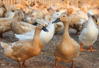 <b>鸭子常见的疾病有哪些?鸭子常见的疾病和防治方法</b>