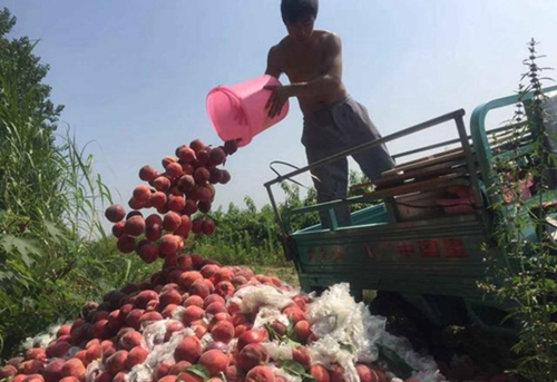 农产品滞销怪谁?千亩优质鲜桃滞销当垃圾倾倒