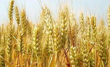 小麦拔节孕穗时期要怎么施肥?小麦拔节孕穗时期施肥技术