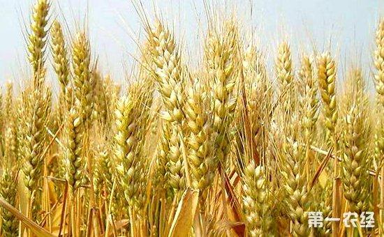 小麦拔节孕穗时期要怎么施肥 小麦拔节孕穗时期施肥技术
