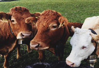 牛鼻出血有哪些症状?牛鼻出血的原因和防治方法