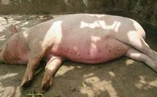 <b>猪中暑后,如何治疗?有何妙招?</b>