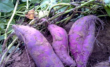 紫薯要怎么育苗?紫薯的育苗技术