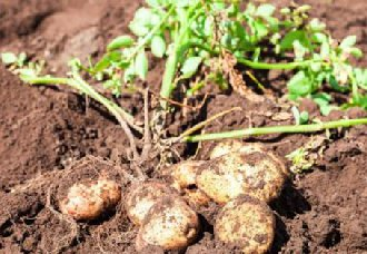 土豆要怎么催芽?土豆的催芽方法和种植技术