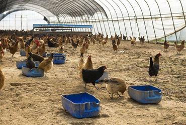 养鸡场染疫处置方案有哪些?如何选址?