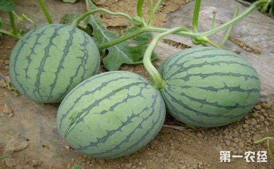 田间无籽西瓜要怎么管理 田间无籽西瓜的管理技术