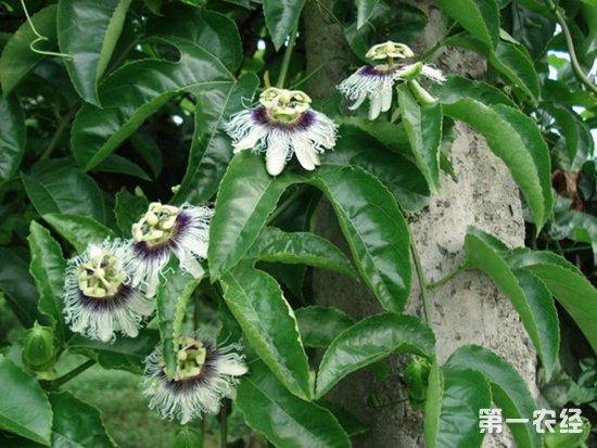 阳台可以盆栽百香果吗?百香果的盆栽与阳台养护