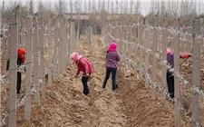 冬天如何防止葡萄藤发生冻害?葡萄冻害预防方法