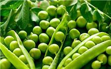 豌豆怎么种才能高产?豌豆高产种植方法