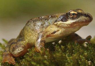 林蛙常见的疾病有哪些?林蛙常见的疾病与防治方法