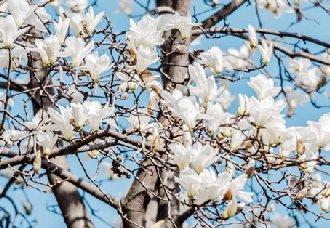 白玉兰常见的病虫害有哪些?白玉兰的病虫害和防治方法