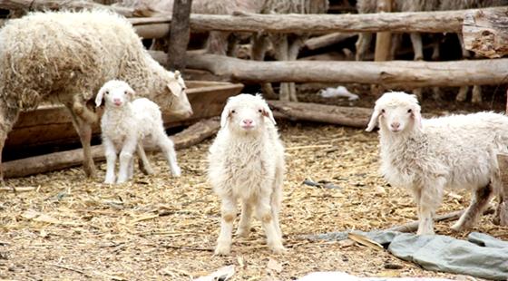 圈养的羊要吃什么草?圈养羊的饲料配方