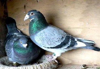 元宝鸽要怎么养?元宝鸽的养殖技术和喂养技巧